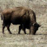 201203_bison-at-battelle-darby-creek_6811839150