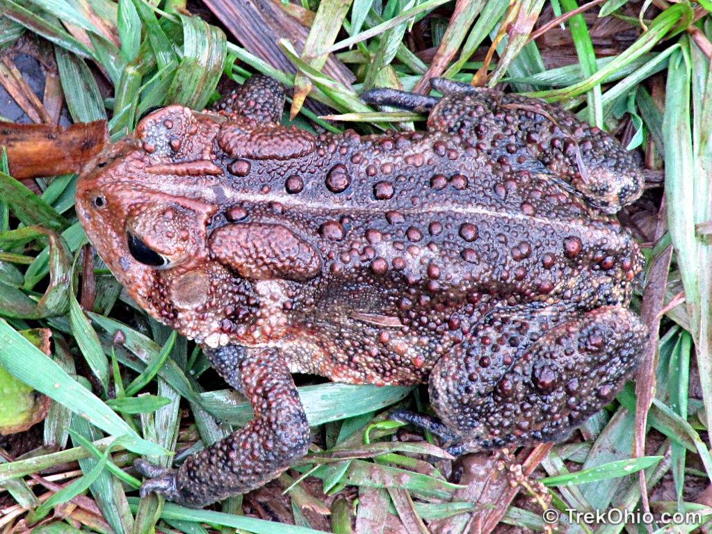 Eastern American Toad (Bufo americanus americanus) d164adfb4