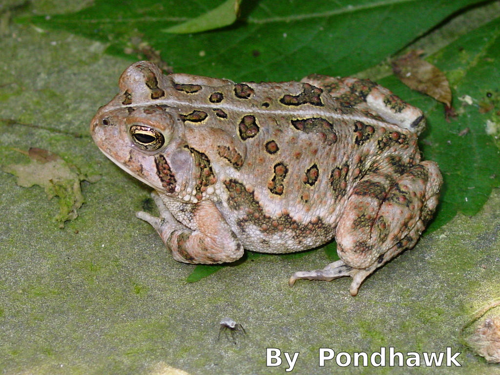 ohio s 15 species of frogs and toads at a glance trekohio