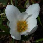 201204_flower-bloodroot_7061245607