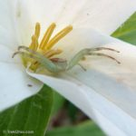 201204_crab-spider-in-trillium_7120572031