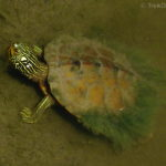 201206_common-map-turtle_7429192946