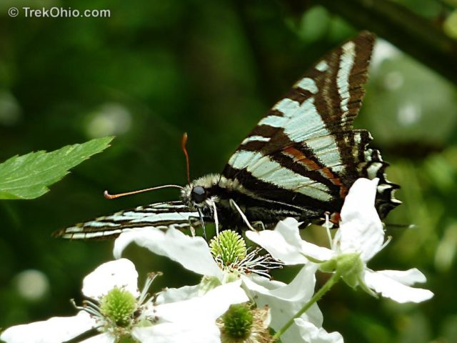 Zebra butterfly – when it was a larva, it ate pawpaw leaves that continue to protect it now that it is a butterfly.