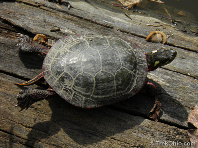 Ohio S 12 Species Of Turtles At A Glance Trekohio