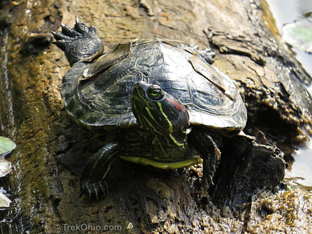 Ohio's 12 species of turtles at a glance | TrekOhio
