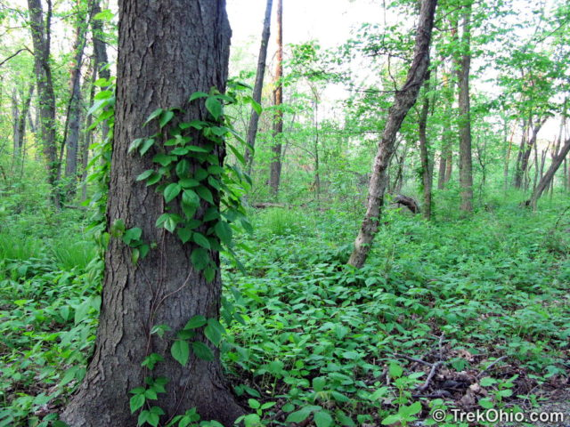 Poison Ivy has climbed up this tree, but it's also growing all over the ground to the right of the tree.