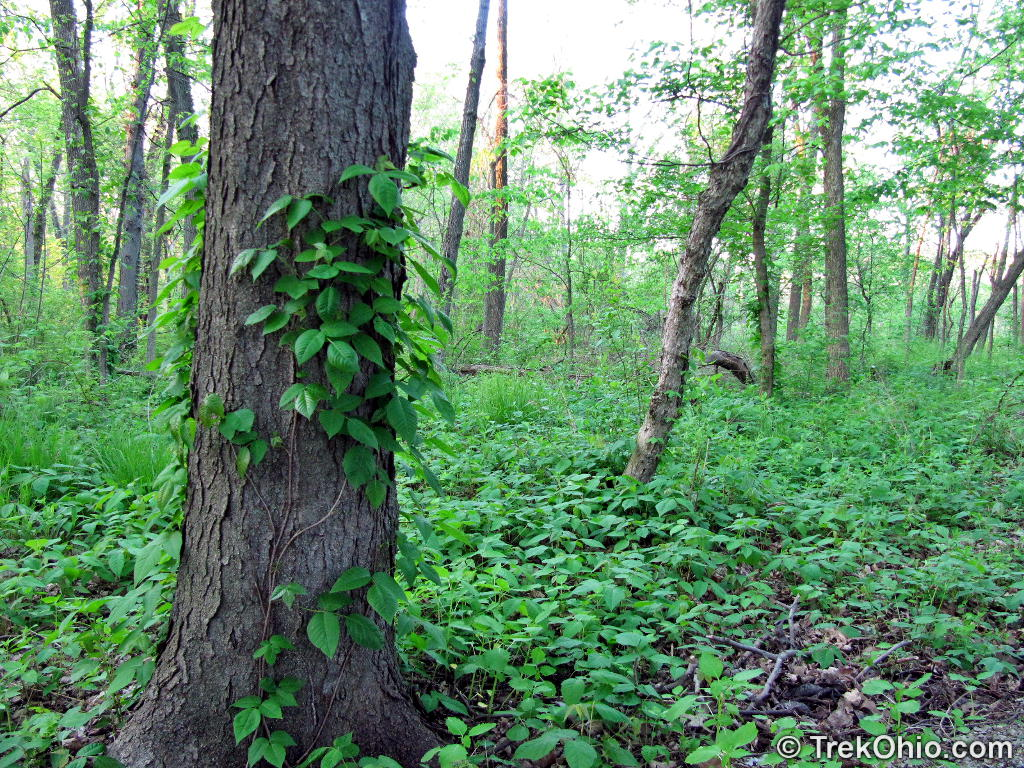 Poison Ivy Has Climbed Up This Tree But It S Also Growing All Over The Ground To Right Of