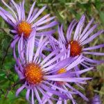201211_flower-new-england-aster_8164549774