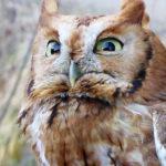 201301_bird-screech-owl_8396473807