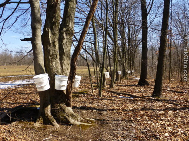 Buckets collecting sap near a field