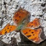 201304_eastern-comma-butterfly_8678017737