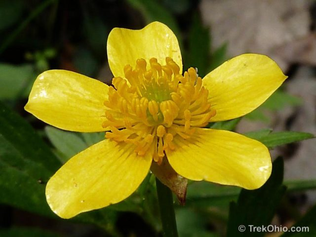 Common spring wildflowers in ohio trekohio hispid buttercup ranunculus hispidus blooms march through may mightylinksfo
