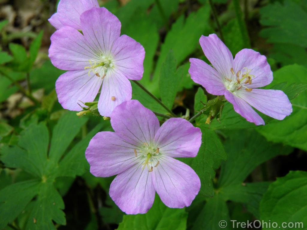 Wild Geranium (Geranium maculatum); blooms April through June ...