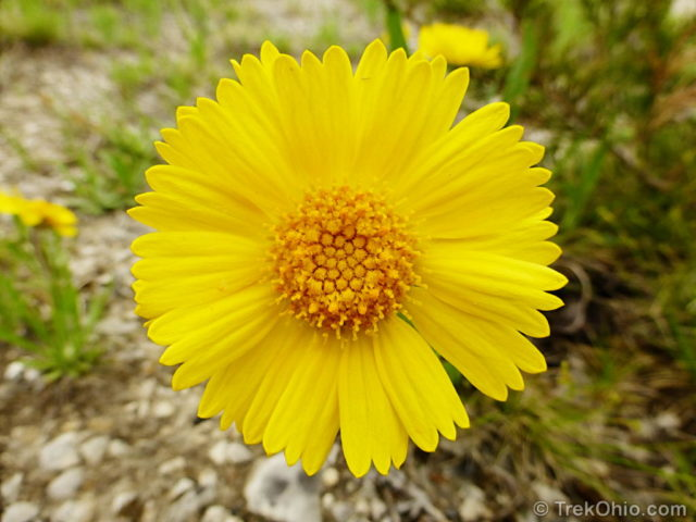 A macro photo of a Lakeside daisy.