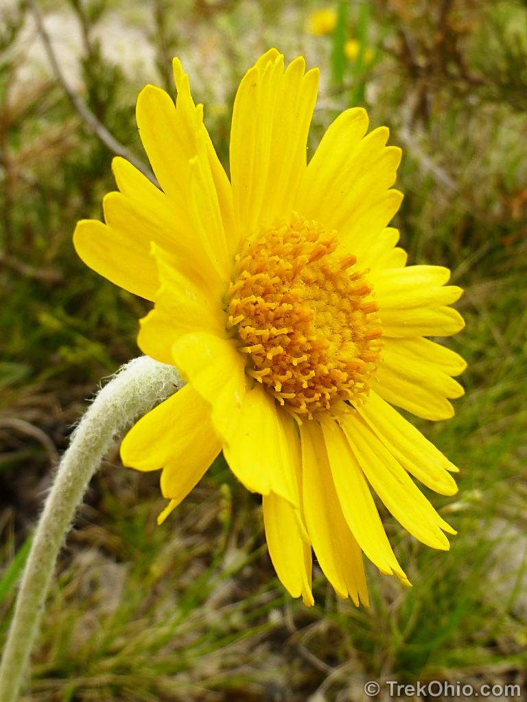 Lakeside Daisy State Nature Preserve | TrekOhio