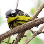 201305_magnolia-warbler-male_8729439657