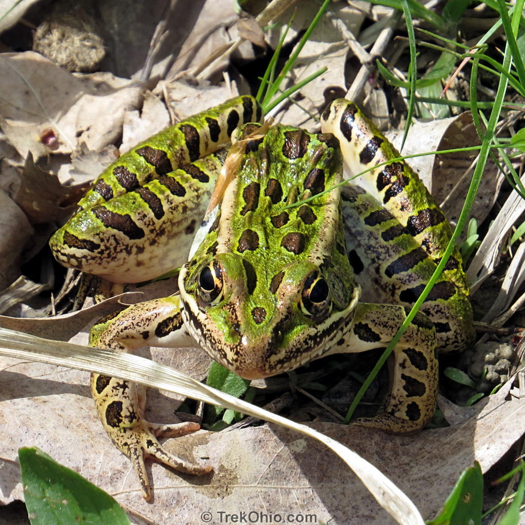 Ohio s 15 species of frogs and toads at a glance  1df6507cf