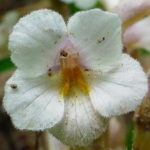 201306_oneflowered-broomrape_8907850067