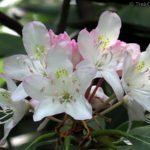 201306_rhododendron-maximum_9131137614