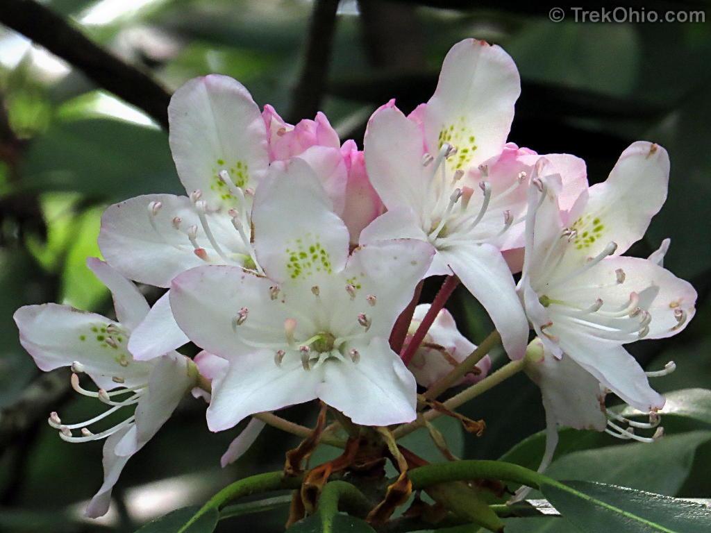rhododendron maximum in bloom trekohio