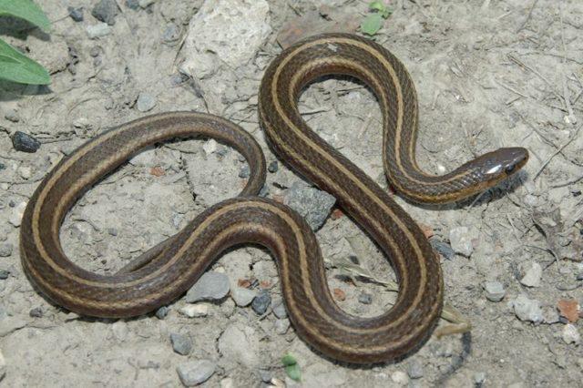 Short Headed Garter Snake (Thamnophis Brachystoma)