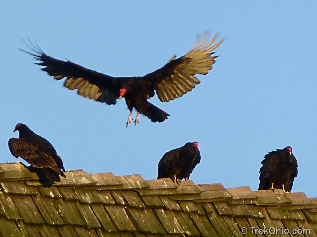 turkey vultures The red head, naked of feathers, easily gave the birds away as turkey vultures  while we see these vultures often during the warmer months,.