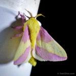 201308_rosy-maple-moth_9432312975