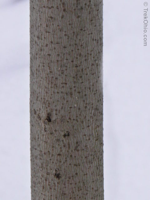 The inner fibers of this pawpaw bark can be twisted into cords.