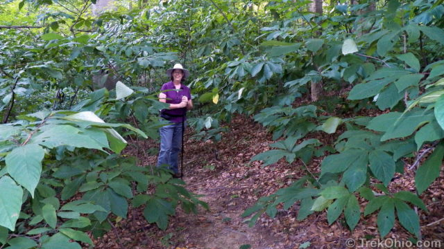 Deb in a patch of pawpaws (Asimina triloba)