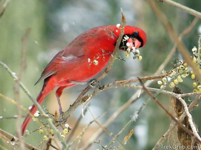 Cardinal snacking on poison ivy berries.