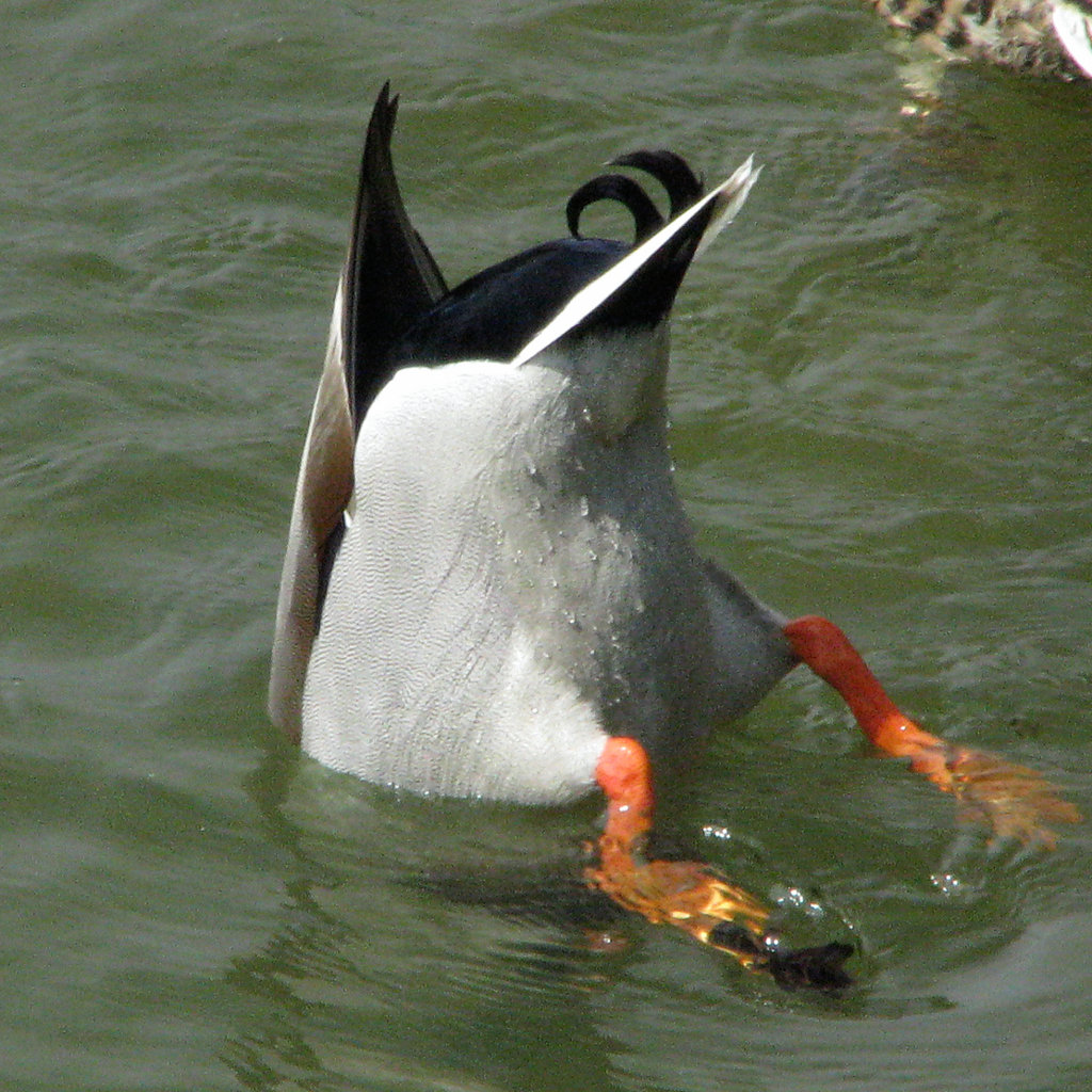 An Introduction to Dabbling Ducks and Diving Ducks | TrekOhio