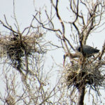 20140418_smith-preserve-heron-standing-on-nest-with-another-nest-in-background_img-1417
