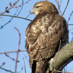 Juvenile, red-tailed hawk experiencing his first winter.