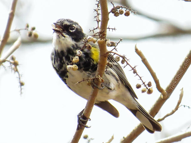 Yellow-rumped warbler eating poison ivy berries. These berries remain on the vines most of the winter and are important food source for birds and small mammals. But just like the leaves and the vines, the berries are toxic to people.