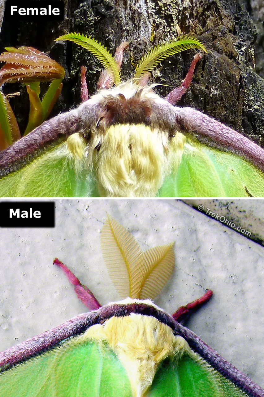 how to tell moth gender