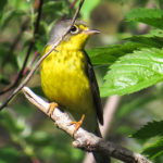 A Canada warbler stopping by Magee Marsh before heading across the lake to Canada.