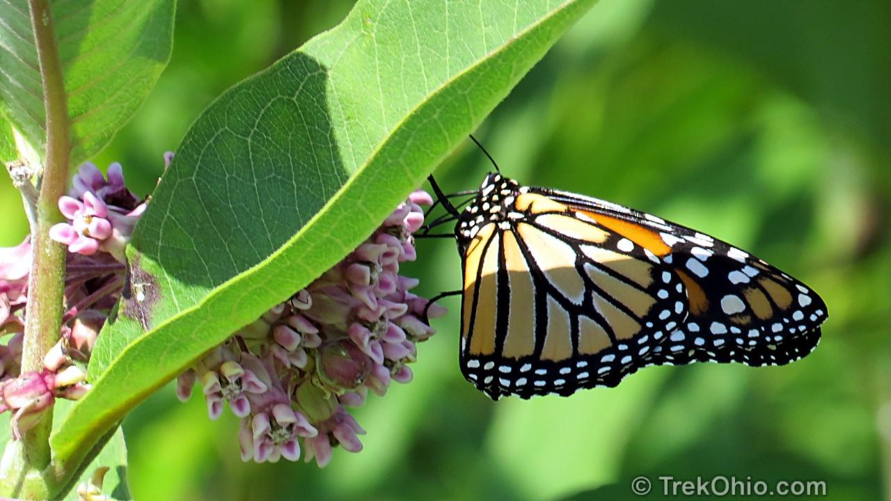 Monarch butterflies coevolution with milkweed essay