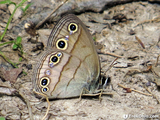 Little Wood-satyr butterfly (Megisto cymela)