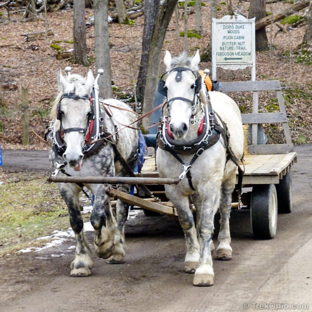 Draft Horses Pulling Cart - Transportation at Maple Syrup Festival