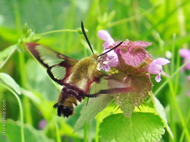 Hummingbird clearwing moth sipping nectar from purple dead nettle.