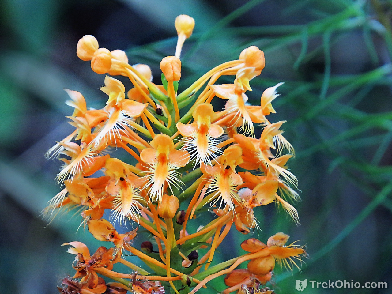 Yellow-fringed orchid (Platanthera-ciliaris), photographed at Shawnee State Forest