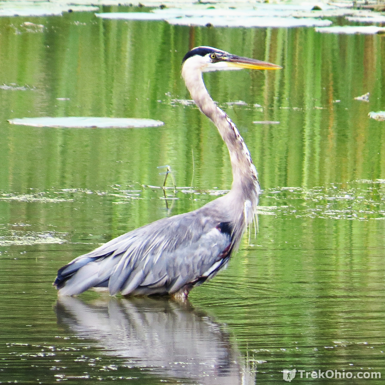 Great Blue Heron (Ardea herodias), photgraphed from the observation deck.