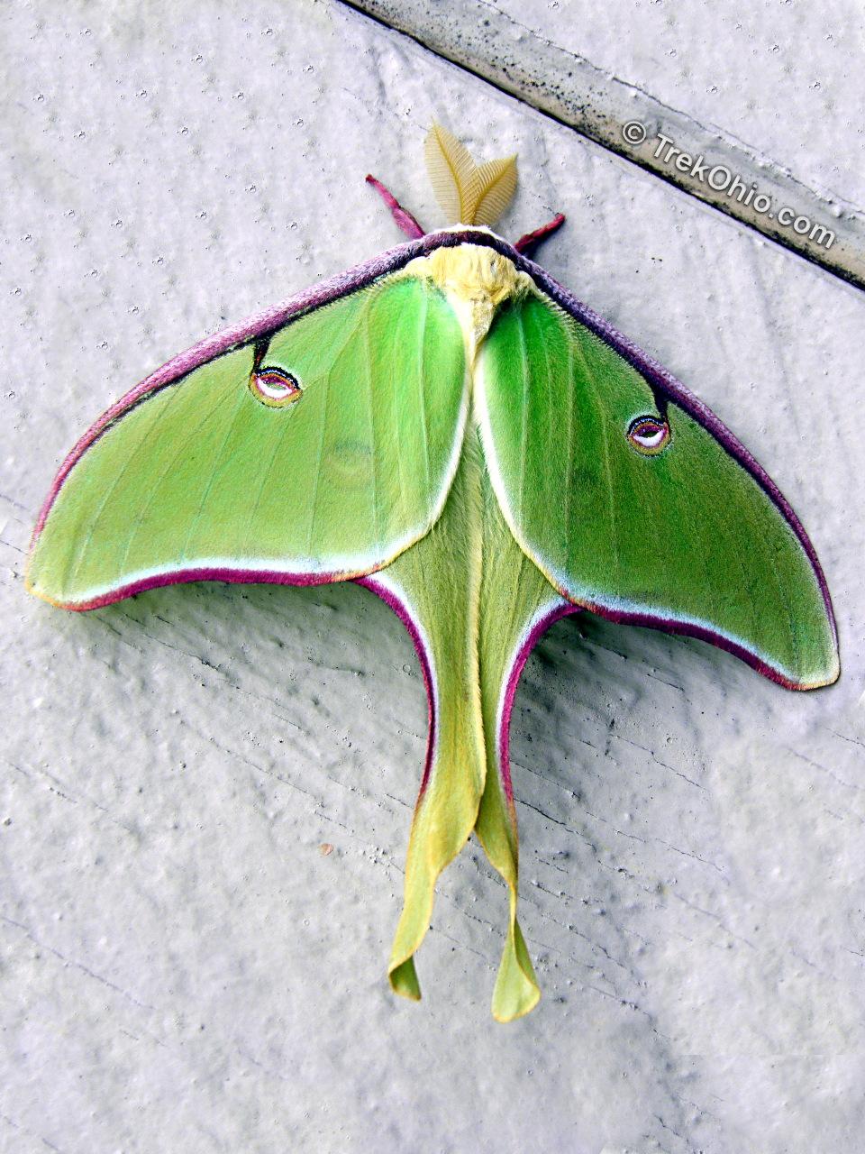 The Luna Moth Male And Female Trekohio