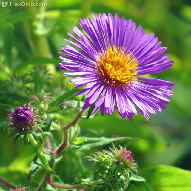 New England Aster, photographed in September.