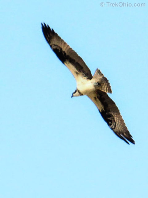 Osprey hunting above the lake