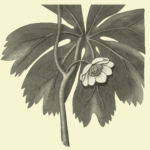 flower-mayapple-illustration-monochrome