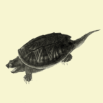 "Illustration of a snapping turtle, now in the public domain. Originally published in ""North American herpetology"" :. Philadelphia :J. Dobson,1836-1840.."